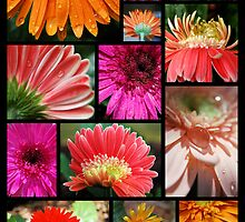 Gerbera Collection by Donna Adamski