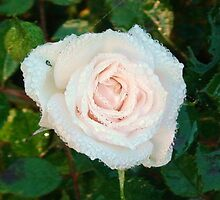 Dew on the Rose, Two! by greeneyedlady