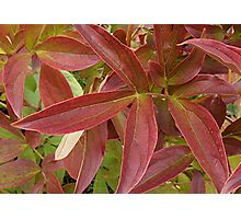 Peony Leaves in the Fall Photographic Print