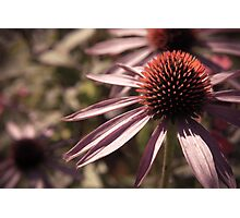 Faded Petals Photographic Print