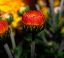 Buds From My Windowbox by Karen Checca