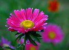 Pink Daisy by LudaNayvelt