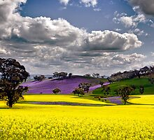 Canola Fields  by Maggiebee