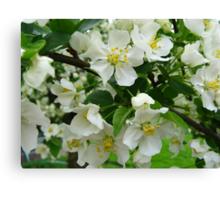 White Crabapple Blossoms Canvas Print