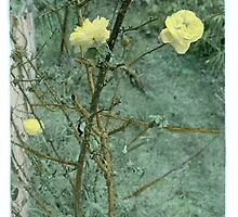Mellow Yellow...... handcoloured silver gelatin photograph by Juilee  Pryor