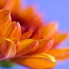 Chrysanthemum by Janine  Hewlett