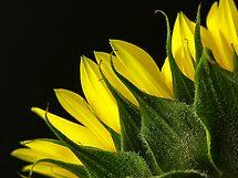Sunflower by GayeLaunder Photography