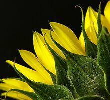 Sunflower by gamaree L