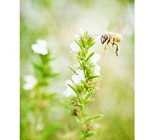 Winter savory and bee in garden Photographic Print