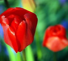 Tulips by Angus Russell