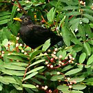 Blackbird & Berries by Trevor Kersley