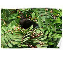 Blackbird & Berries Poster