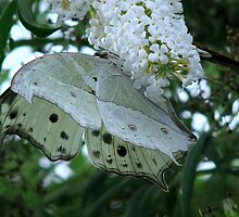 Mother of Pearl - Protogoniomorpha parhassus  by Sharon Perrett