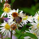 Nectar Gatherer by Trevor Kersley