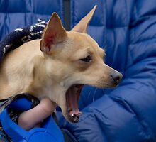 Screaming Chihuahua by Mythos57