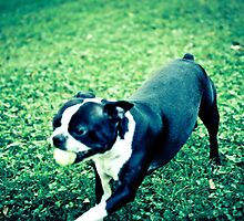 Boston Terrier Playing with Ball by JerryINOCMD