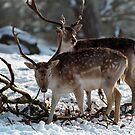 Foraging deer in Winter by EileenLangsley
