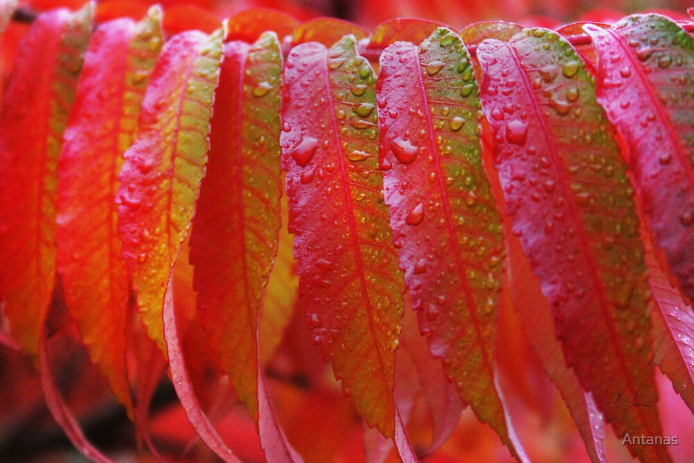 Drops and leaf by Antanas