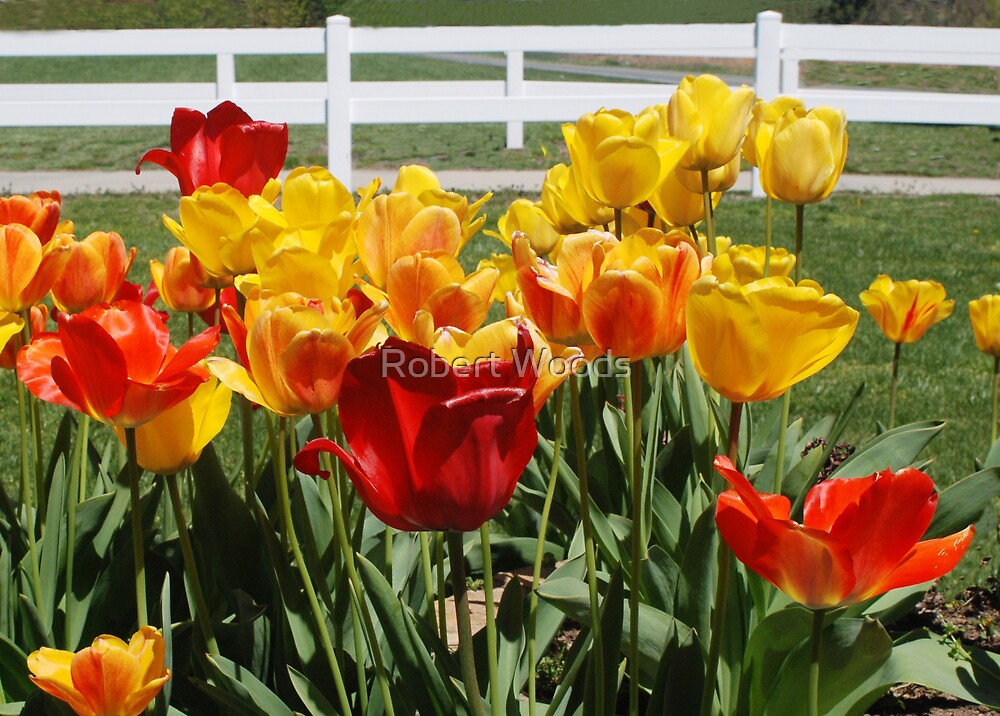 Tulip Patch by Robert Woods