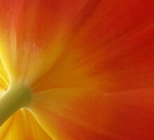 Tulip splendour by Heather Thorsen