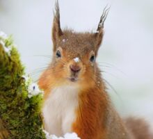 Red Squirrel in the snow Sticker