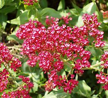 Red Valerian by Tess Barnes