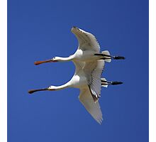 Mother and Child Spoonbill Photographic Print