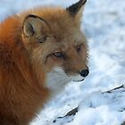 ...Reinard the Fox..... by John44