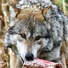 CLOSE UP OF A WOLF by cdudak