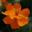 Orange Cosmos by Pamela Hubbard