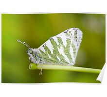 Sitted Butterfly Poster