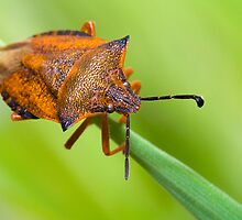 Shield Bug by André Gonçalves