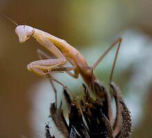 Little Mantis by André Gonçalves