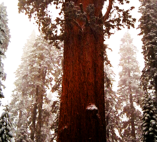 """General Sherman"" Sequoia National Park California Sticker"