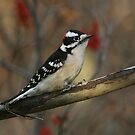 Male Downy with red berries... by Normcar