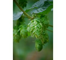 Hops III Photographic Print