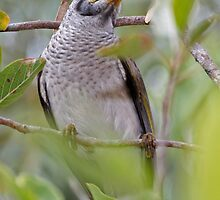 Noisy Miner  by Robert Elliott