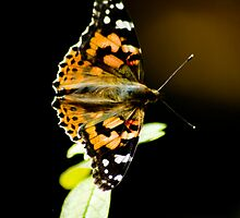 Painted Lady 2 by Tim Ray