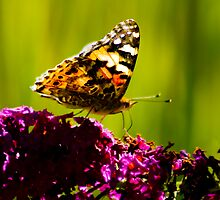 Painted Lady 1 by Tim Ray