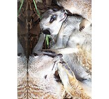 Playful little meercats Photographic Print