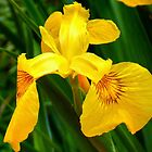 Golden Iris by naturelover