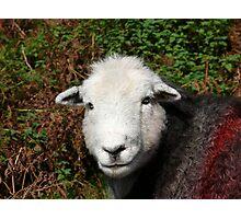 Herdwick Sheep Photographic Print