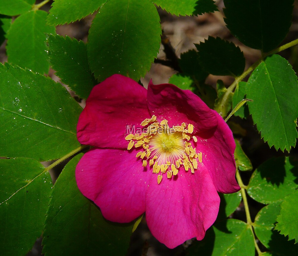 Wild Rose by MaeBelle