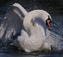 Swan Dance by Krys Bailey