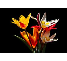 Tulip flowers against black background Photographic Print