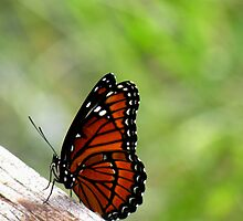 Viceroy Butterfly, Side View  by Rosalie Scanlon