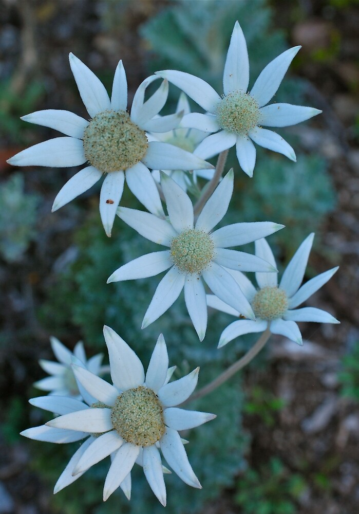 Fabulous Flannel Flowers by Penny Smith