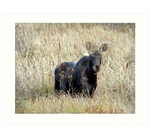 Young bull moose Art Print