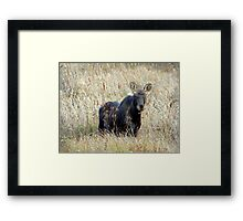 Young bull moose Framed Print