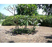 Plumeria Tree Photographic Print